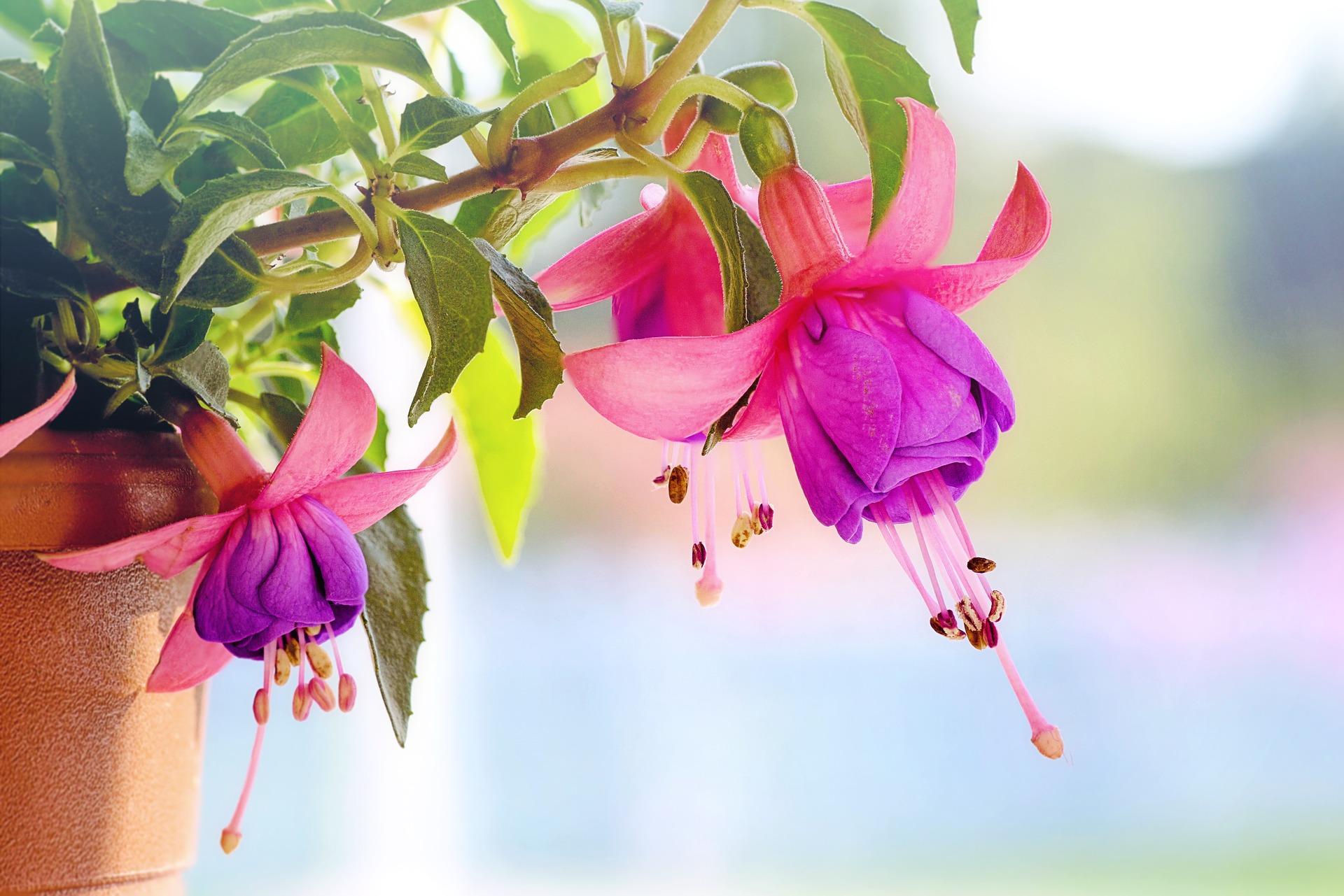Ảnh nền hoa Vân Anh - Fuchsia