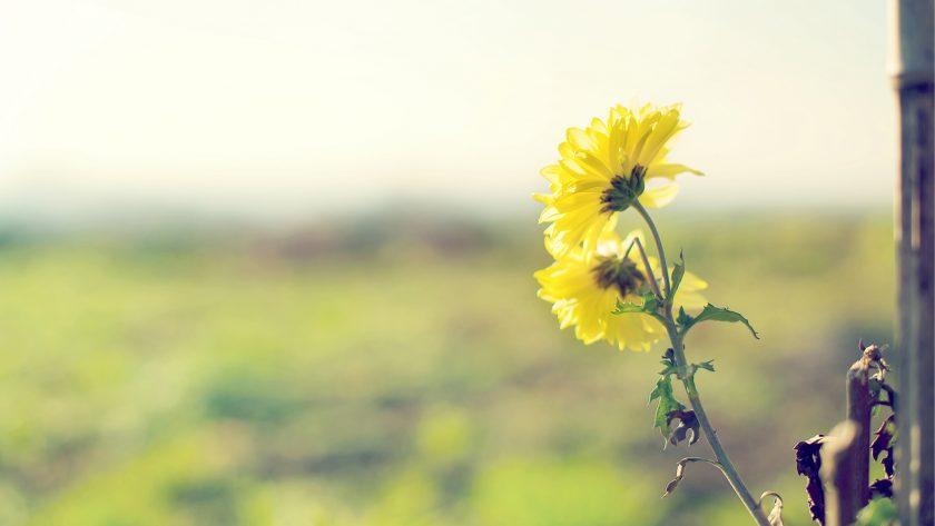 hinh nen hoa cuc vang dep