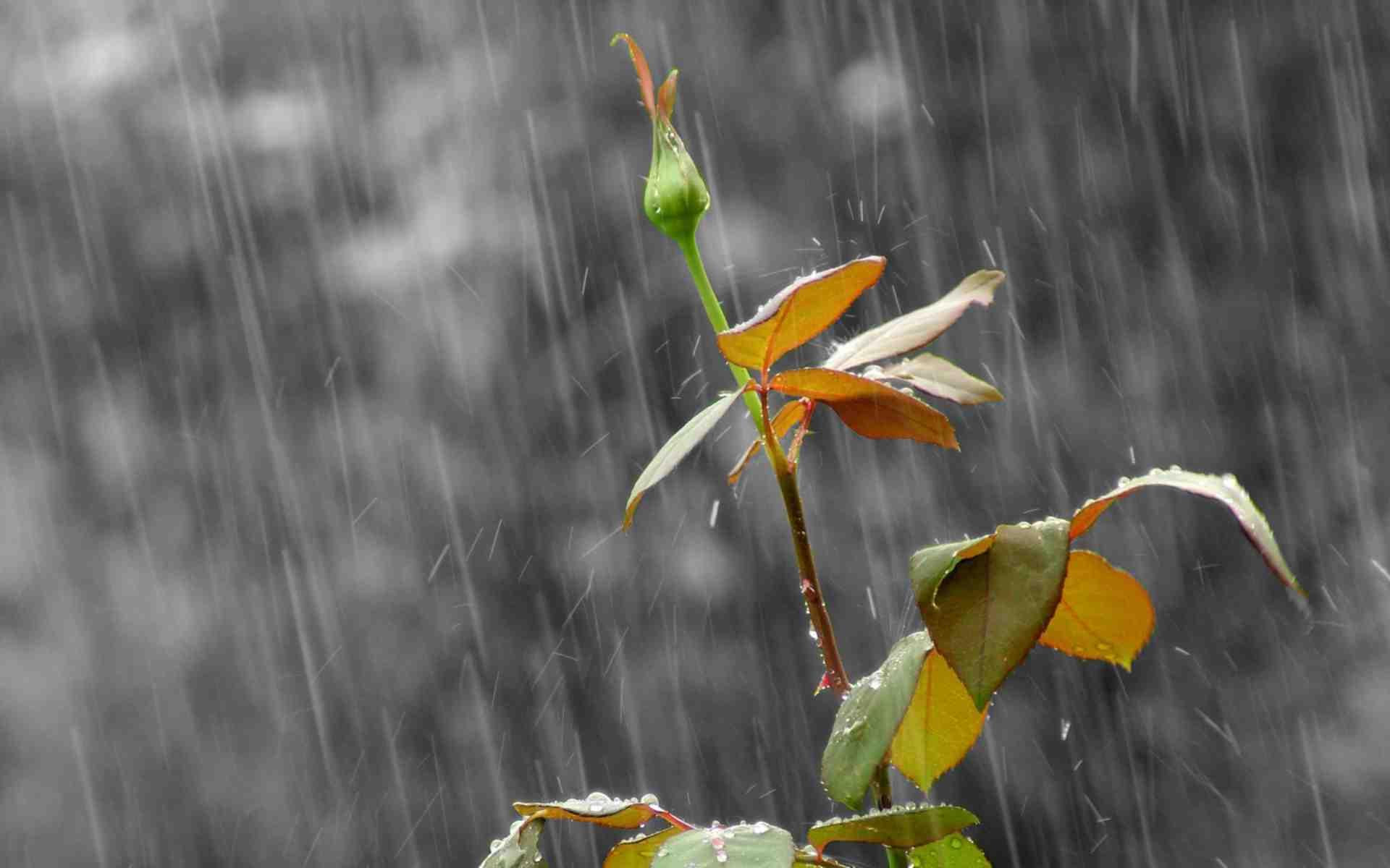 Hình ảnh đẹp và ý nghĩa về nụ hoa lẻ loi trong làn mưa mau (1920 × 1200 pixel)