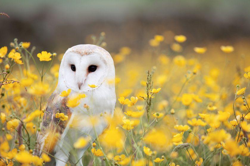 hinh nen chim cu mao trang dung giua vuon hoa cuc chuon mau vang