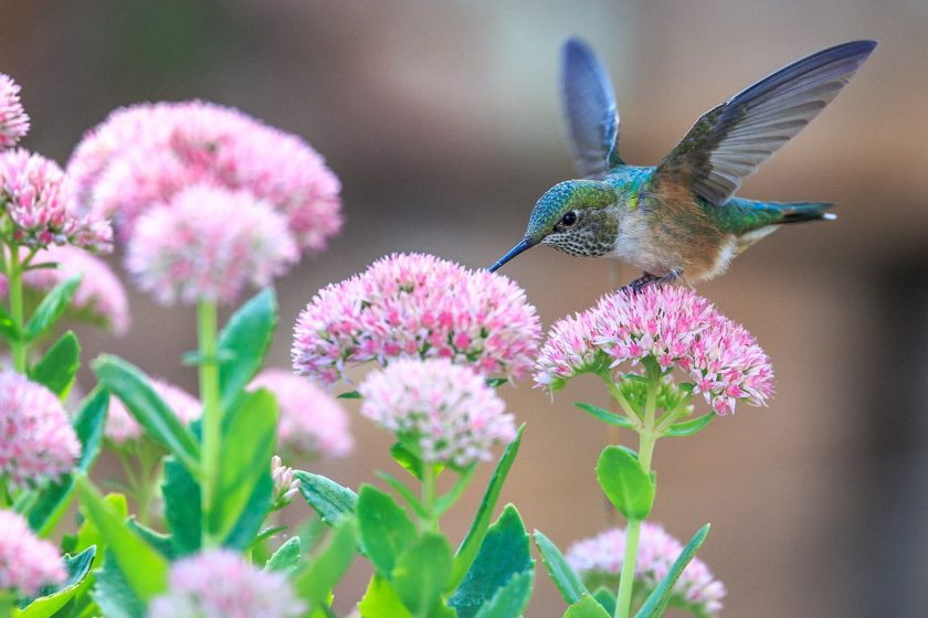 hinh nen chim ruoi xanh hut mat hoa