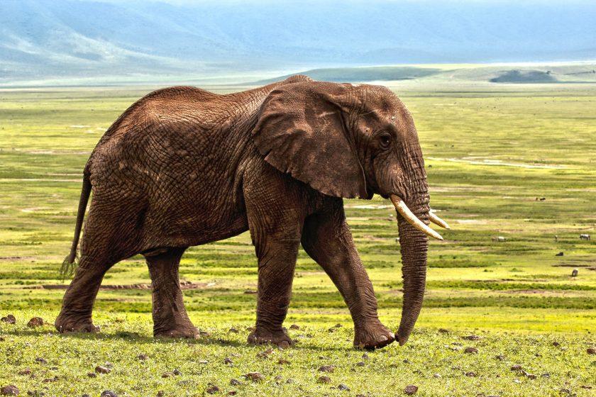 Ảnh voi già đi trên đồng cỏ