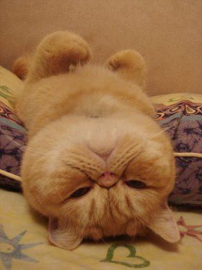 anh meo luoi nam lan ngua Hình ảnh con mèo dễ thương, mong manh siêu đáng yêu