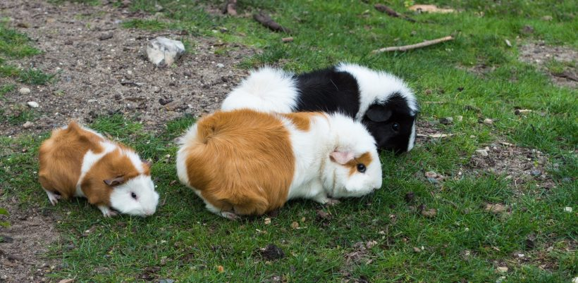 Hinh anh chuot Hamster cute dang yeu