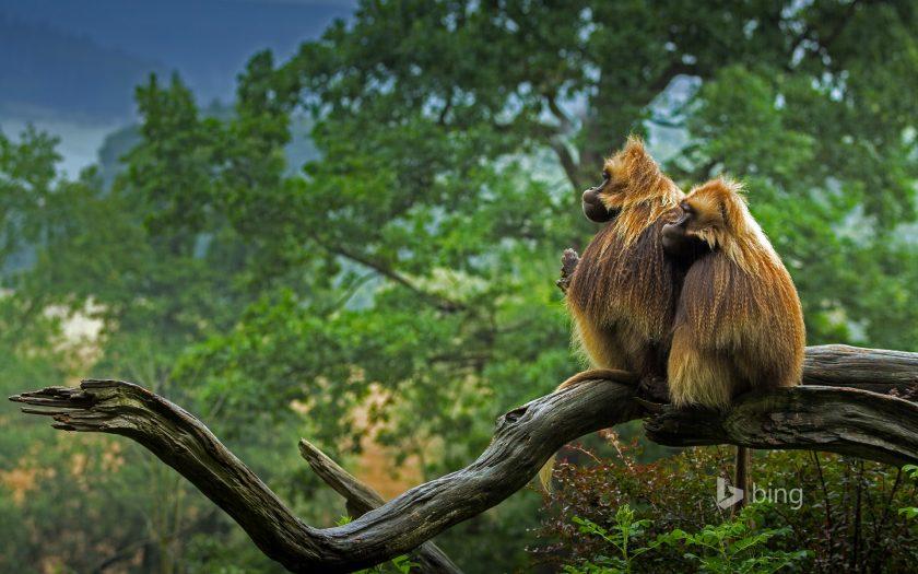 Hinh nen Bing dong vat hoang da Gelada baboons