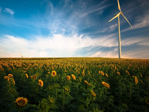 cánh đồng hoa hướng dương