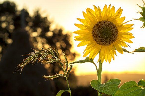 hinh nen hoa huong duong