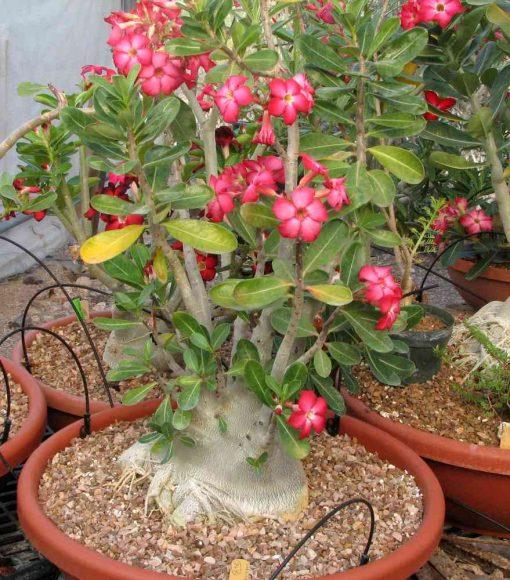 Hình ảnh hoa sứ đỏ hồng đẹp