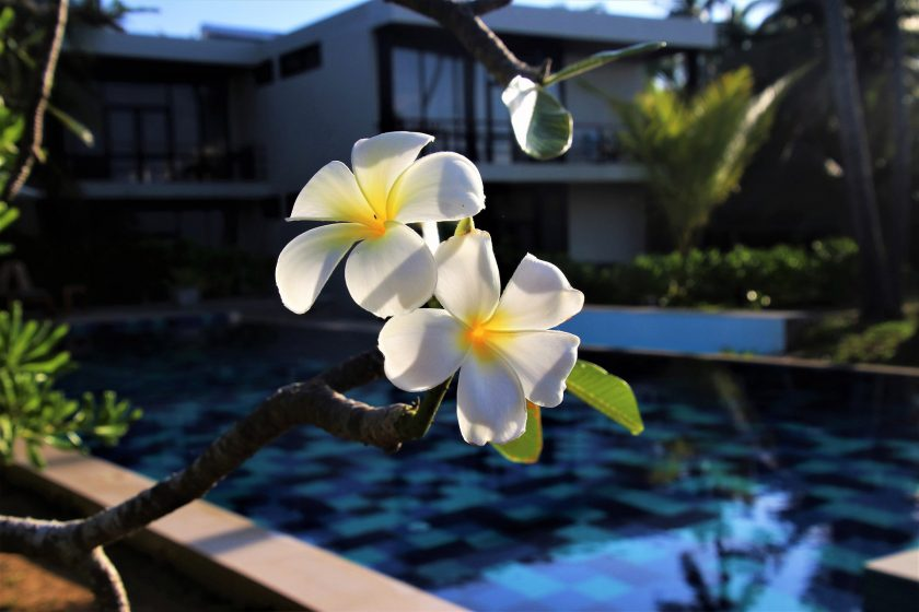 Ảnh hoa đại đẹp bên bể bơi.