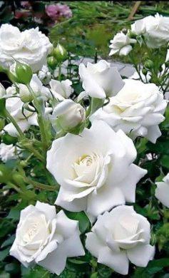 anh hoa hong trang thom