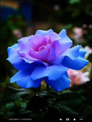 anh hoa hong xanh phot tim