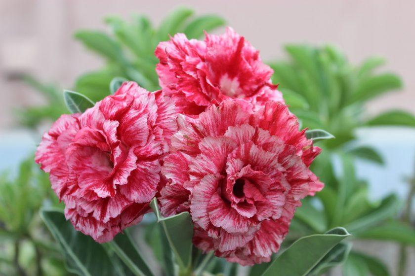 Hình ảnh hoa sứ thái lan giống mới đẹp