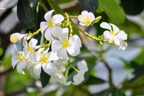 anh hoa su trang dep