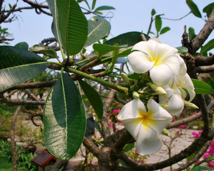 Hình ảnh hoa sứ trắng, lá và cây của nó.