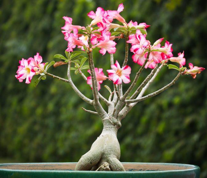 Hình ảnh cây hoa sứ hồng bonsai đẹp tuyệt vời.
