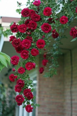 hinh anh canh hoa hong nhung ru xuong ben tuong