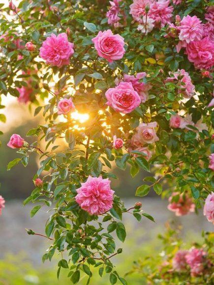hinh anh hoa hong trong chieu hoang hon nhe nhang