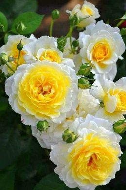hinh anh hoa hong vang trang