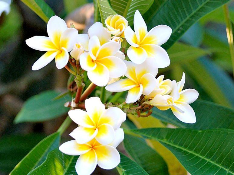 hình ảnh hoa sứ trắng tinh khôi