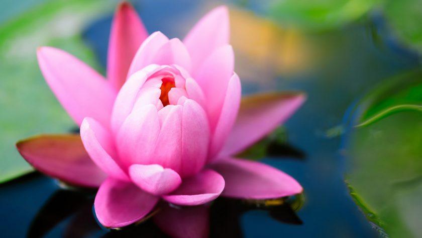 hinh anh hoa sung tim tuyet dep