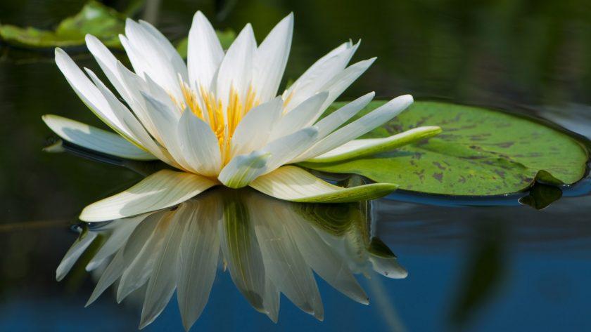 hinh anh hoa sung trang dep