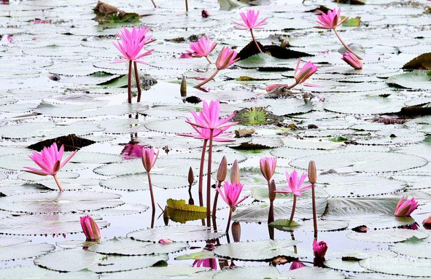 Hình ảnh những bông hoa súng trên mặt hồ