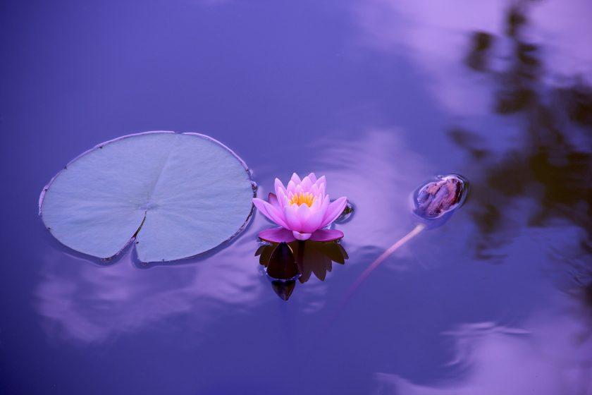 hinh nen hoa sung tim ruc mat ho