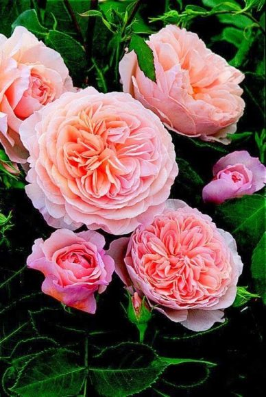 hoa hong ngoai juliet david austin rose