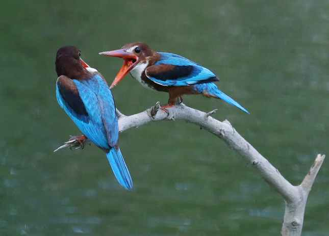 hai con chim bói cá đứng cạnh nhau