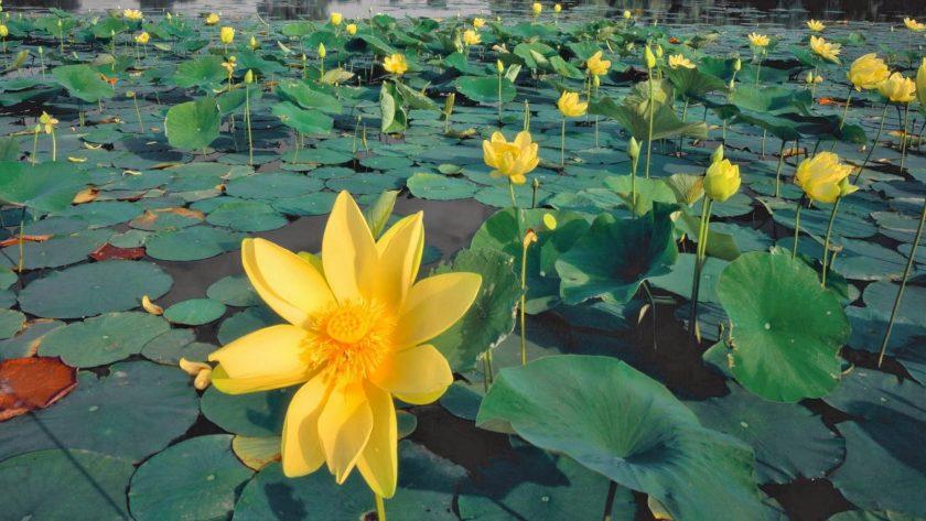 hình ảnh giống hoa sen màu vàng.