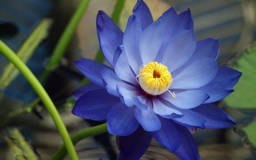hình ảnh hoa sen màu xanh lam