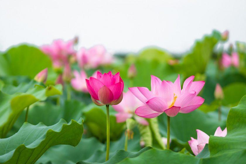 hoa sen dep