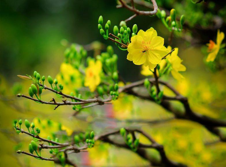 ảnh hoa mai vàng ngày tết