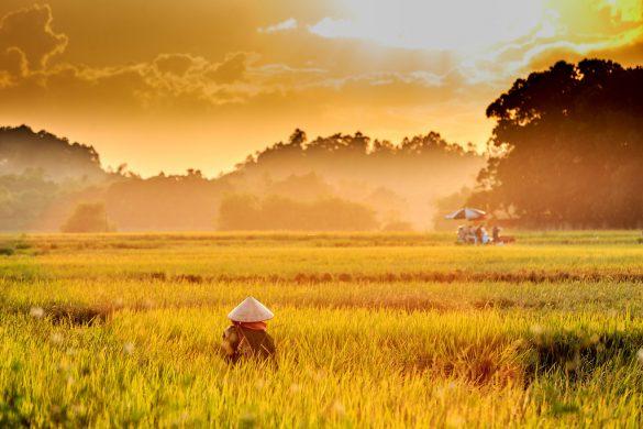Hình ảnh mẹ và những tháng ngày bên ruộng lúa