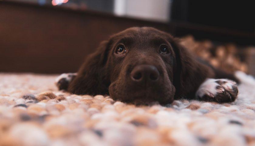 Hình nền full HD chú cho tha mồi Labrador màu đen