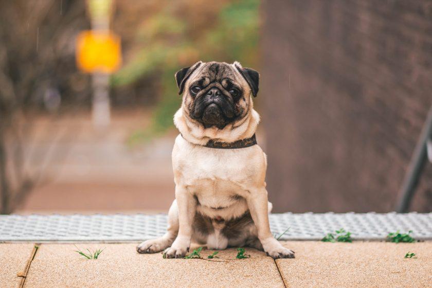 Hình nền full HD chú chó Pug