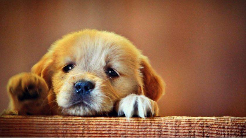 ảnh chó con mặt buồn đang muốn trèo lên thành gỗ