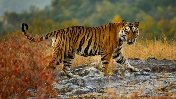 ảnh con hổ đang bước đi và có ánh mắt kinh ngạc