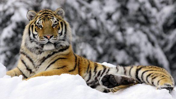 ảnh con hổ nằm trên nền tuyết