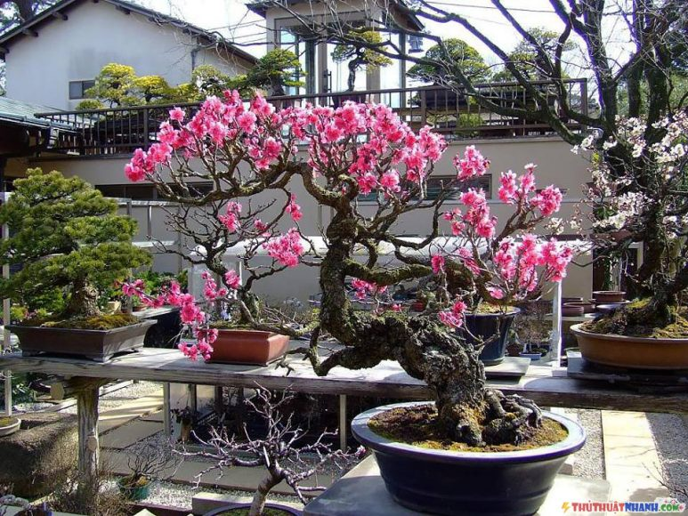 cay hoa dao tet dang bonsai