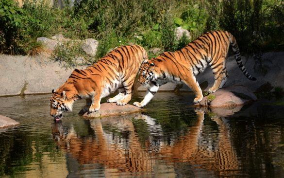 hình ảnh 2 con hổ đang uống nước