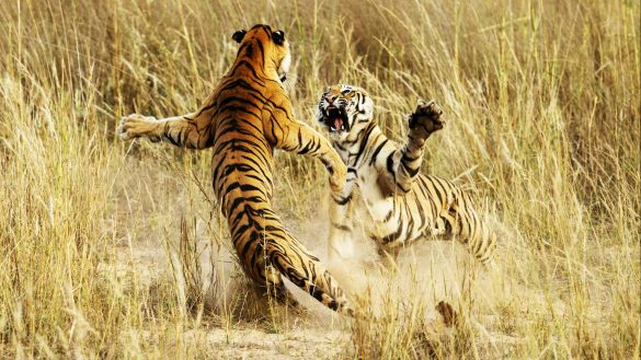 hình ảnh 2 con hổ đánh nhau