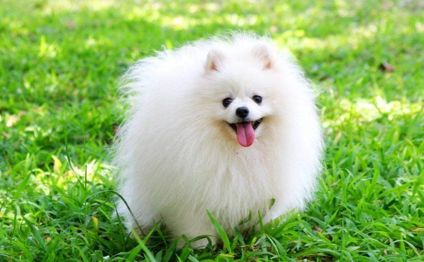 hình ảnh chó bông dễ thương