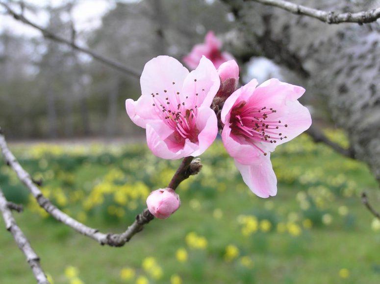 hình ảnh chùm hoa đào