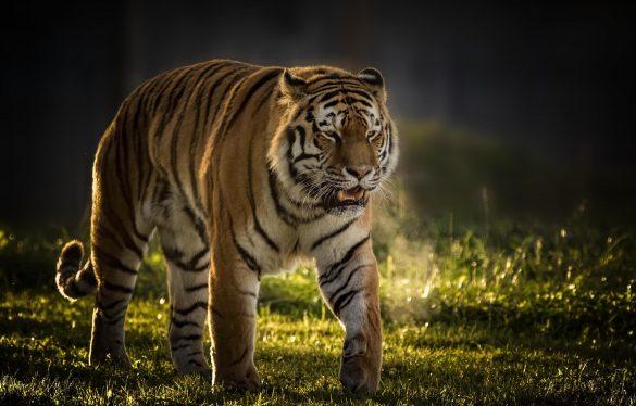 hình ảnh con hổ đang bước đi thong dong