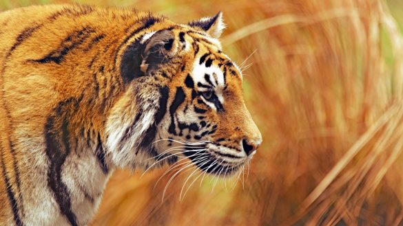 hình ảnh con hổ đang chăm chú và phát hiện con mồi