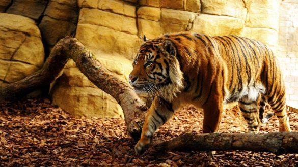hình ảnh con hổ đang săn mồi