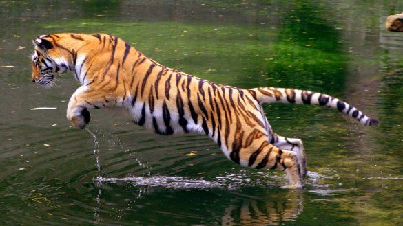 hình ảnh con hổ đang vồ cá dưới nước