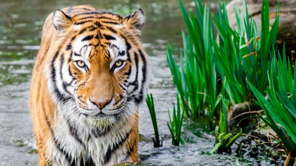 hình ảnh con hổ già đứng dưới nước