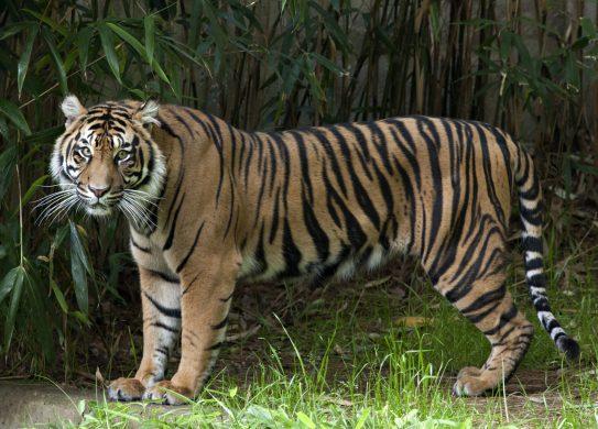 hình ảnh con hổ to lớn hung tợn